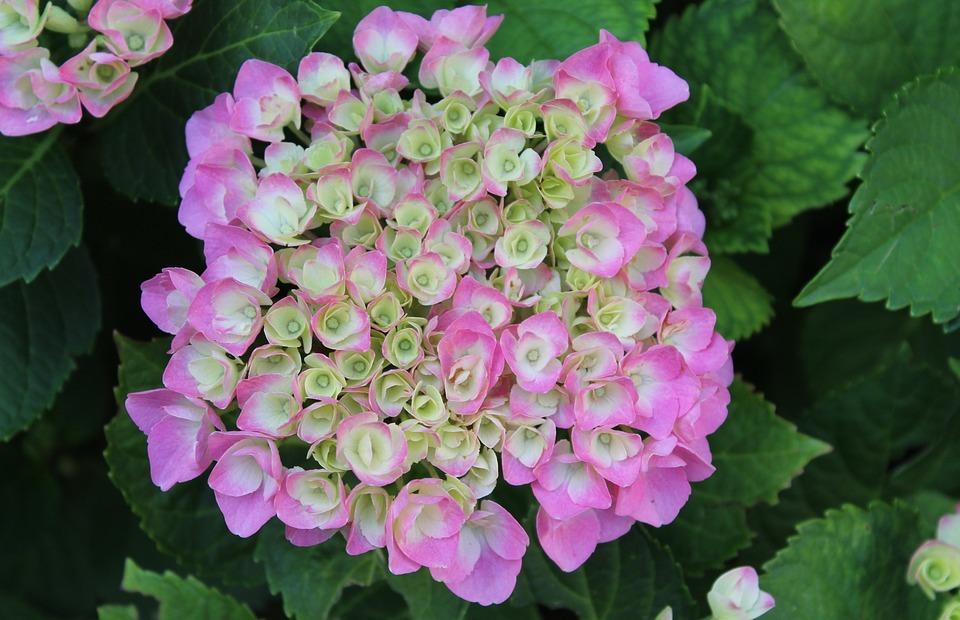 hydrangea, pink hydrangea, hydrangea flower