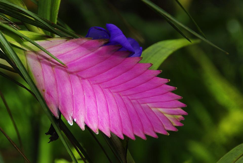 amazonie, exotic flower, tillandsia