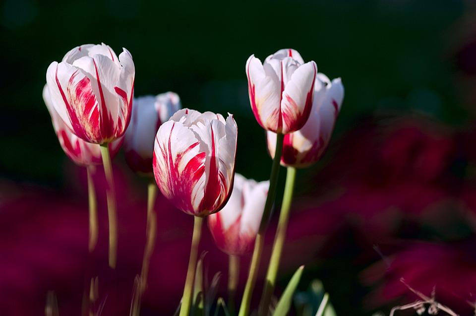 tulips, garden, flowers