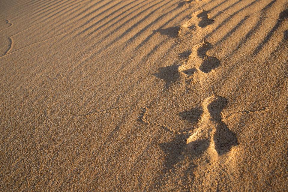 rabbit, tracks, sand