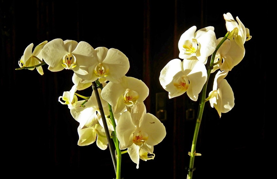 orchids, flowers, exotic