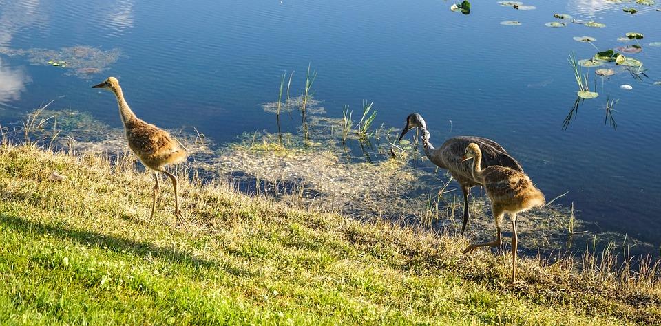 sand hill cranes, baby, parents