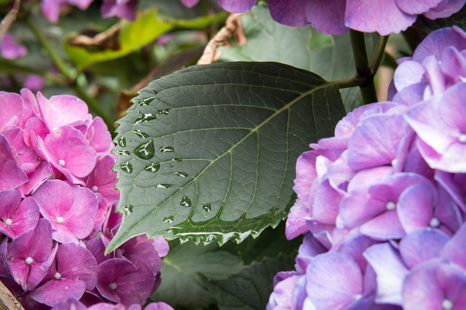 hydrangea, leaf, drop of water