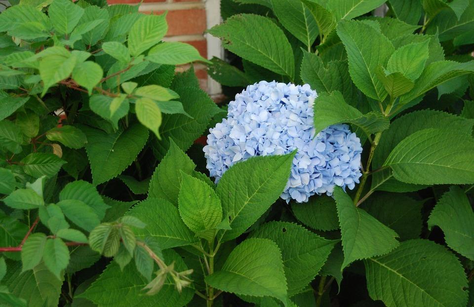 hydrangea, blue hydrangea, cluster
