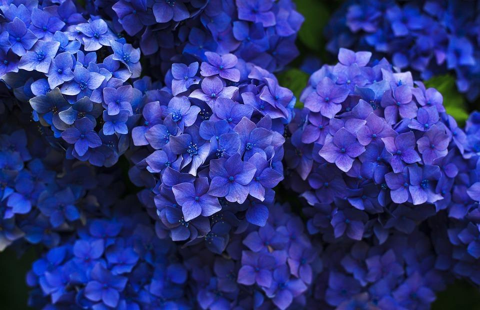 bloom, hydrangea, blossom