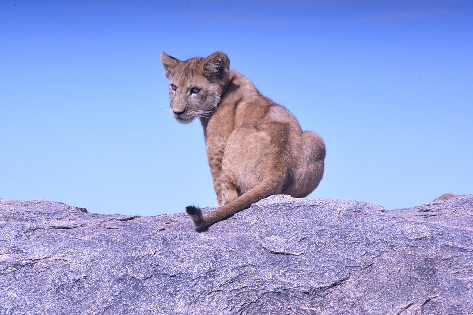lion cub, baby animal, animal