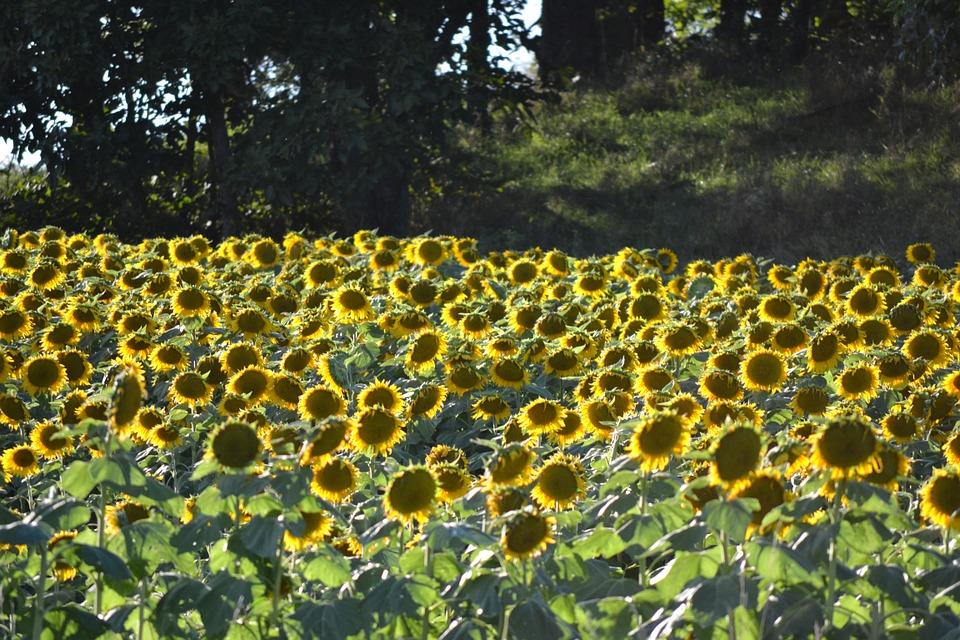 sunflowers, evening, sunflower field
