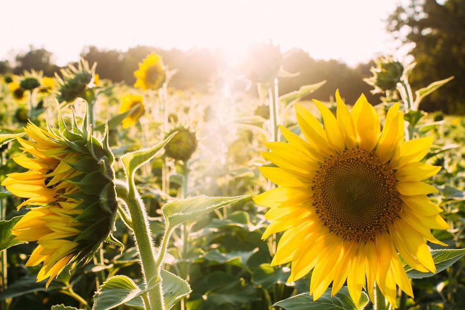 sunflowers, yellow, sunlight