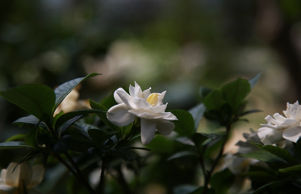 gardenia, fragrance, nature