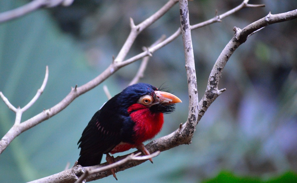 bearded barbet, exotic, colorful