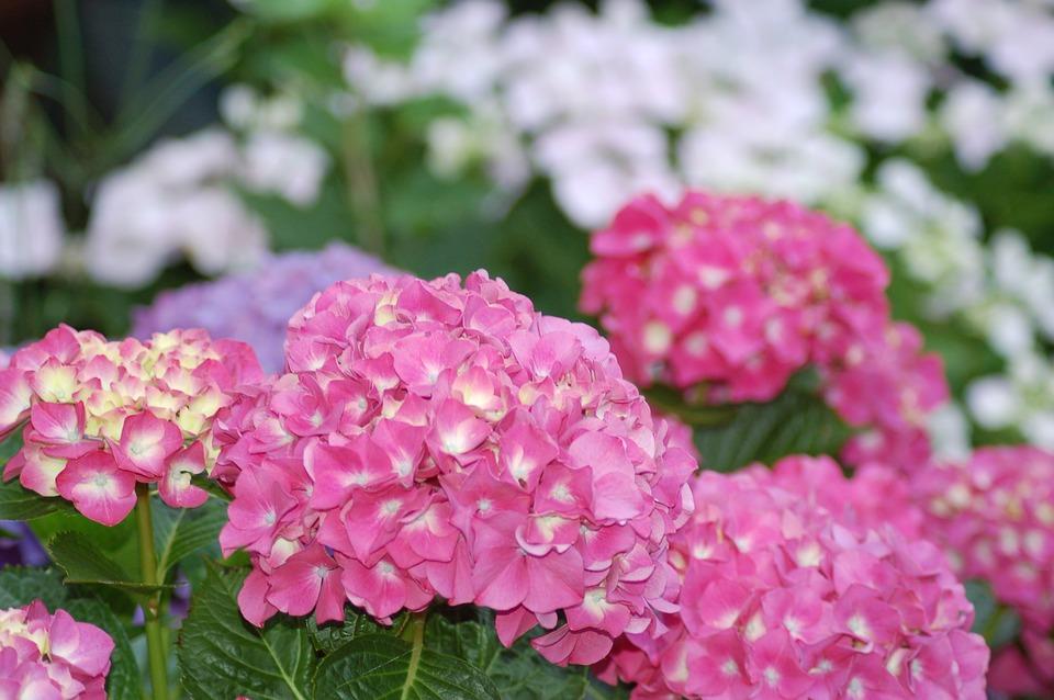 hydrangea, flower, plant