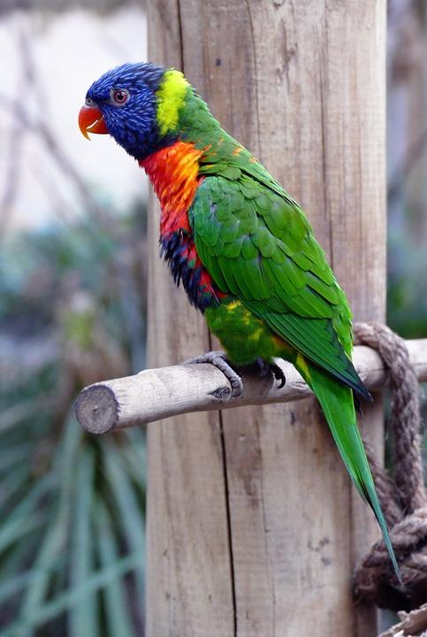 bird, lorikeet, animal