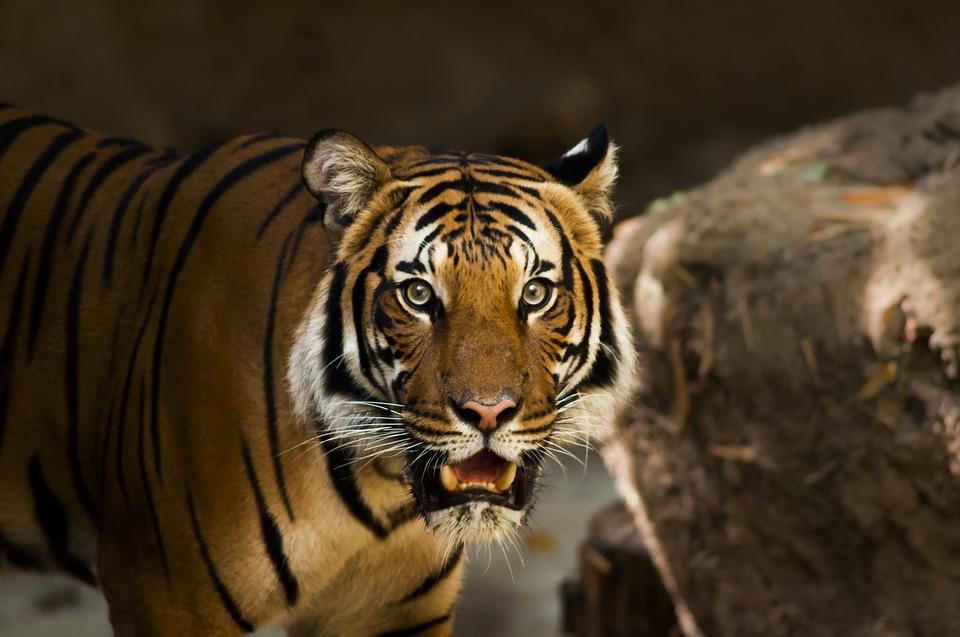 siberian tiger, tiger, siberian