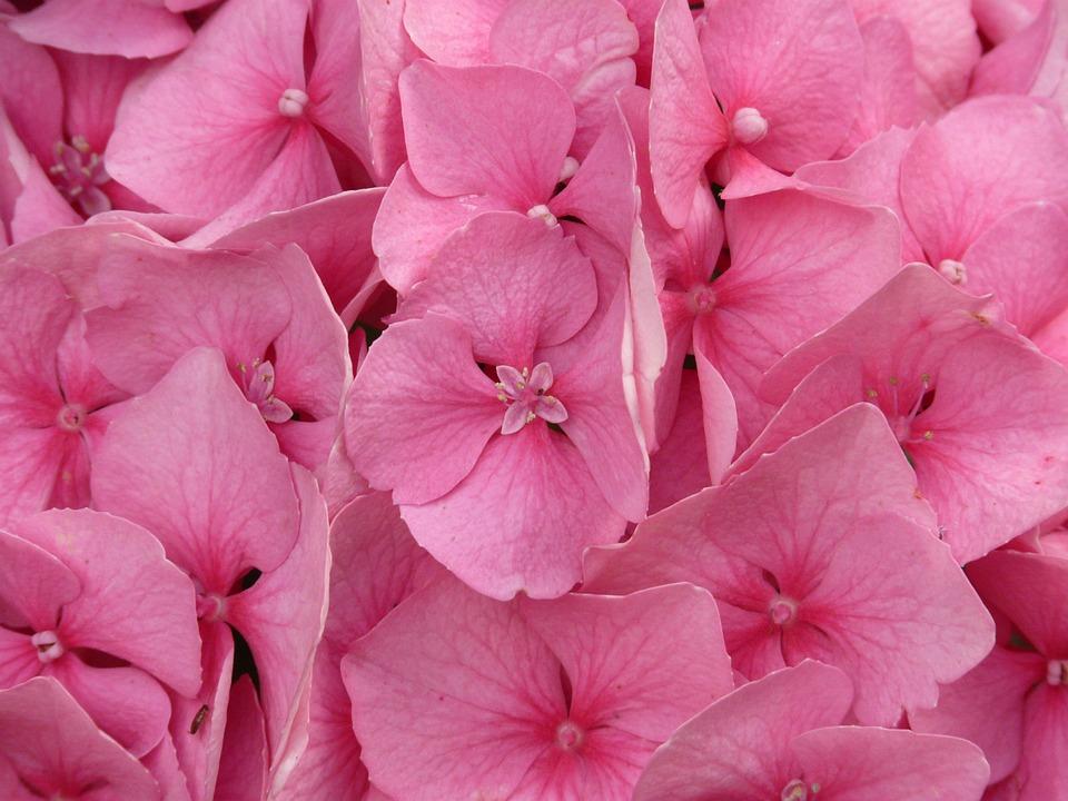 hydrangea, hydrangea macrophyll, ornamental shrub