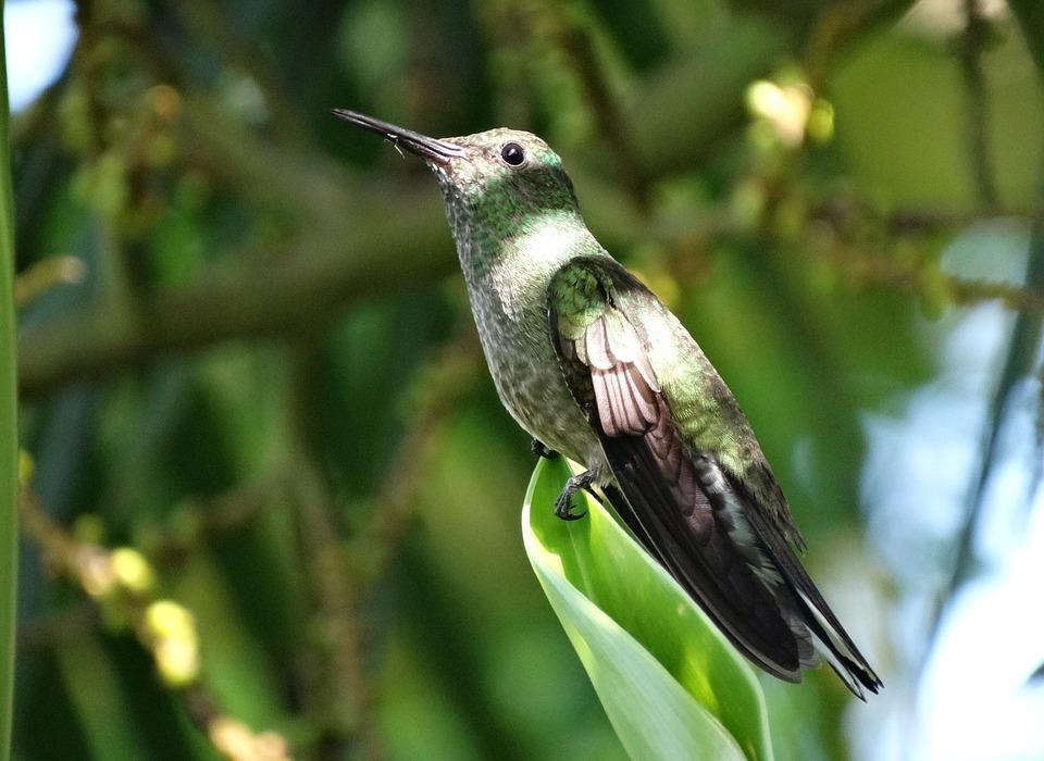 hummingbird, tropical, bird