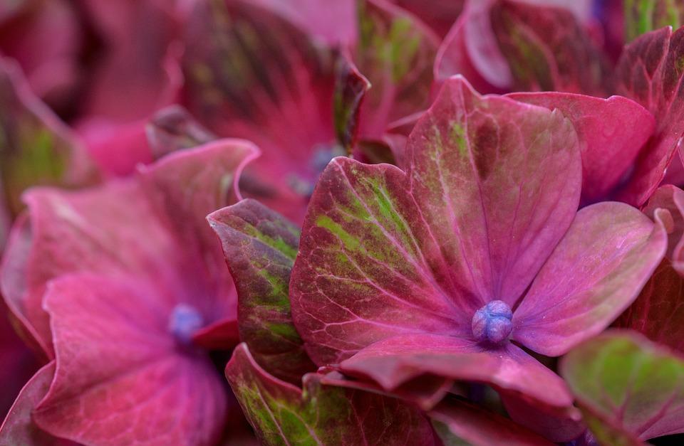 hydrangea, hortensia, green