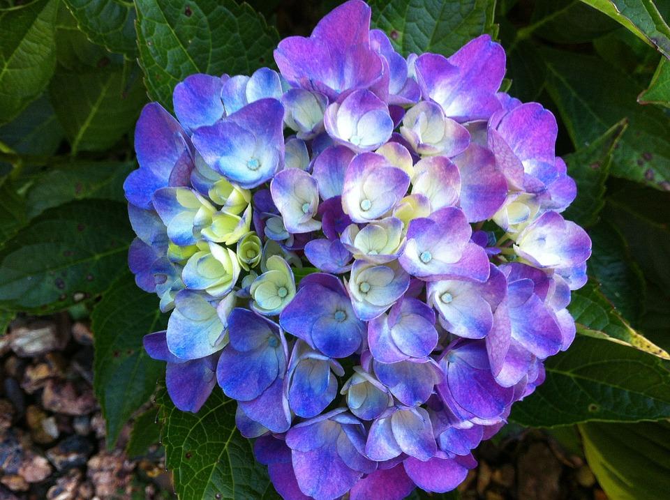 hydrangea, flower, purple