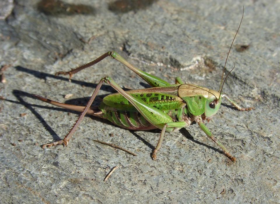 cricket, pyrenee catalunya, insect