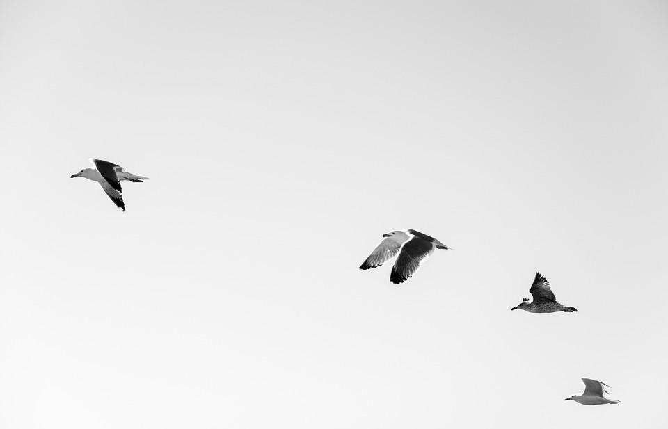 seagulls, flock, birds