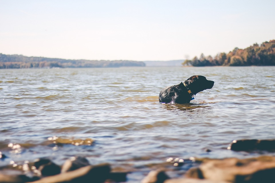 dog, water, swimming