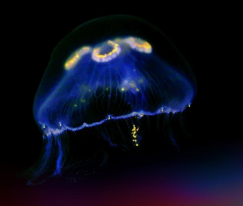 jellyfish, sea animal, underwater