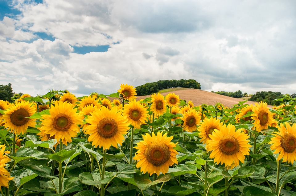 sunflowers, field, hill