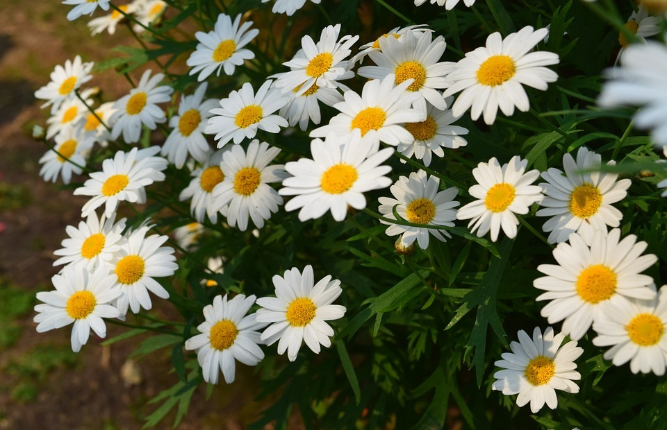white flowers, small white flowers, small flowers