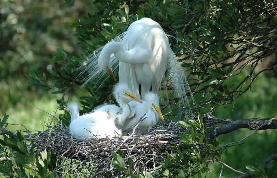 white heron, babies, nesting