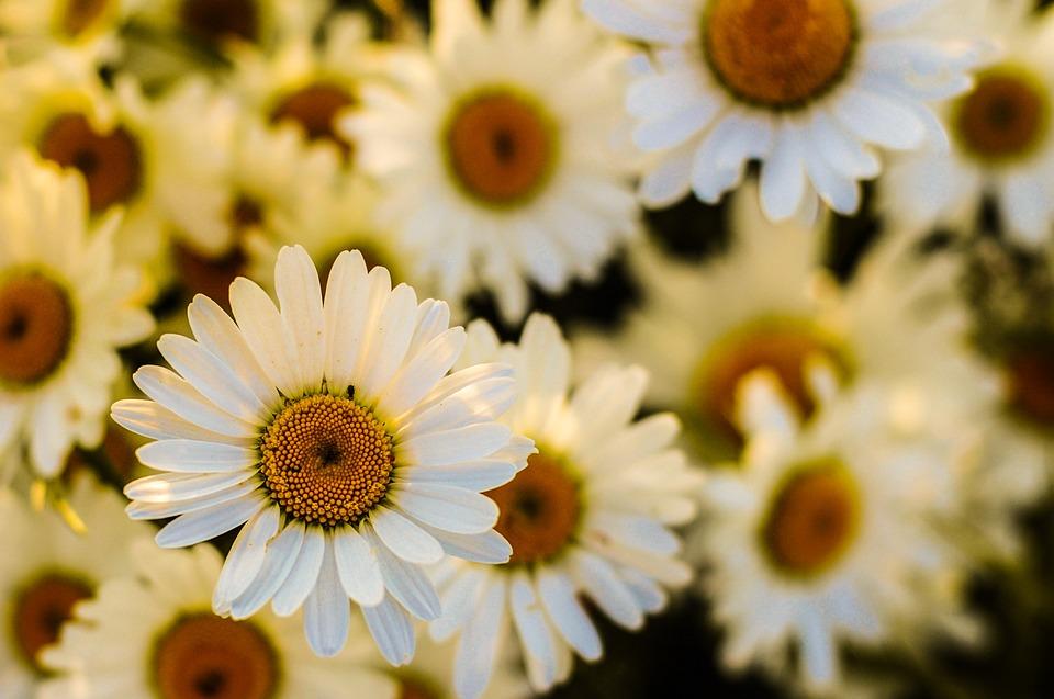 oxeye, daisy, blossom