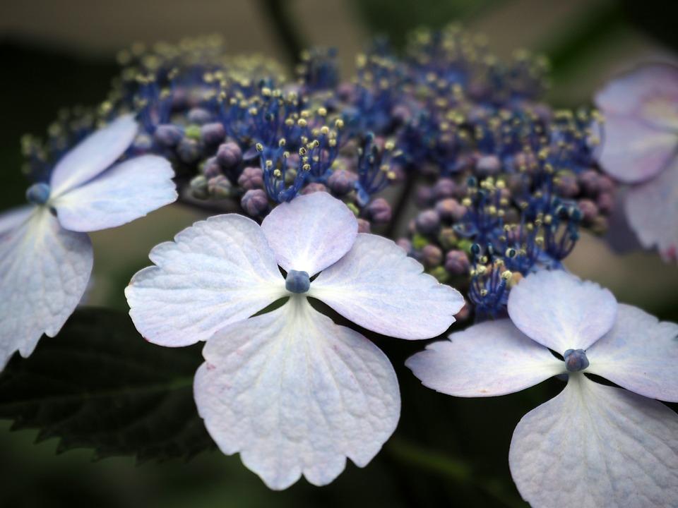 hydrangea, hydrangeas, flowers