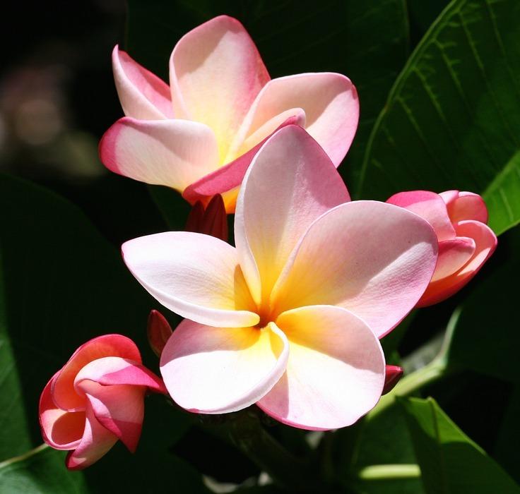 plumeria, flowers, exotic