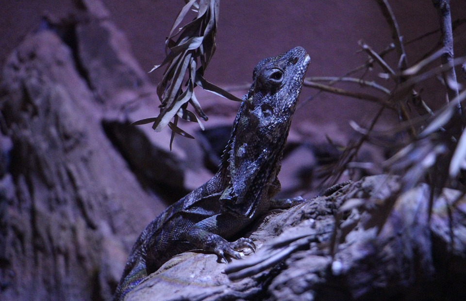 reptiles, frilled lizard, darkness
