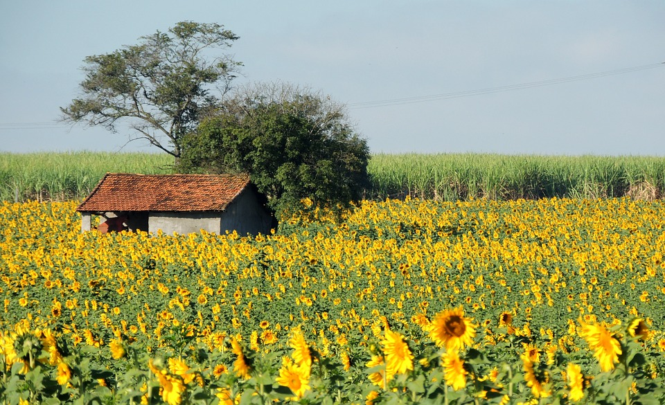 sunflower, planting sunflower, house in the country