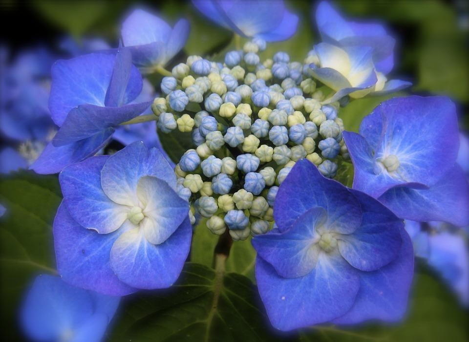 hydrangea, blue hydrangea, blue