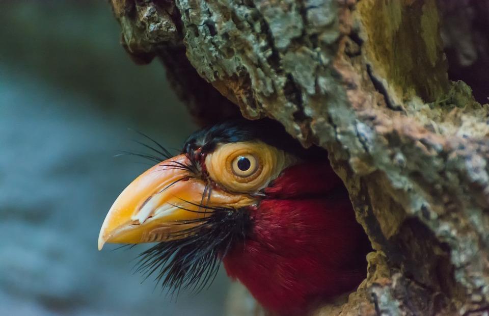 furrow beard bird, bird, colorful