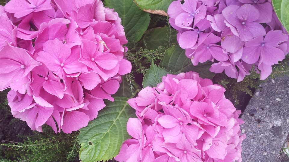 hydrangea, colorful, pink