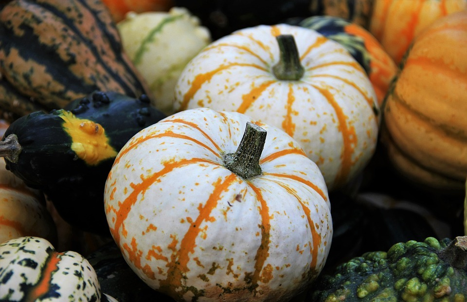 thanksgiving, decorative squashes, seasonal autumn decoration