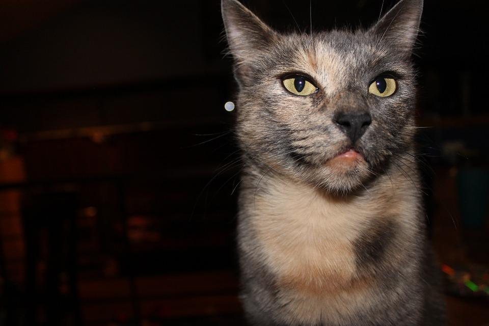cat, angry, tortoiseshell