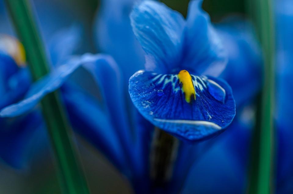 iris, blue, macro
