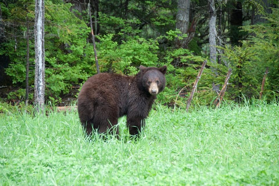 brown bear, canada, national park