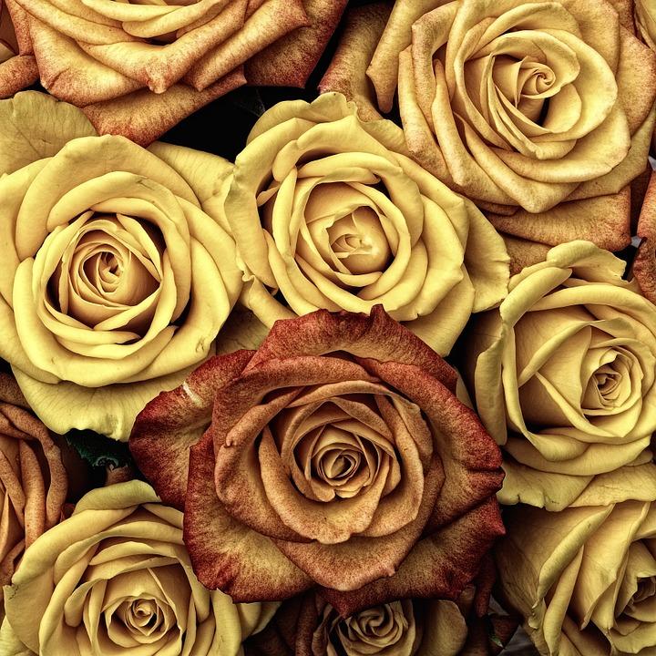 roses, flower, love