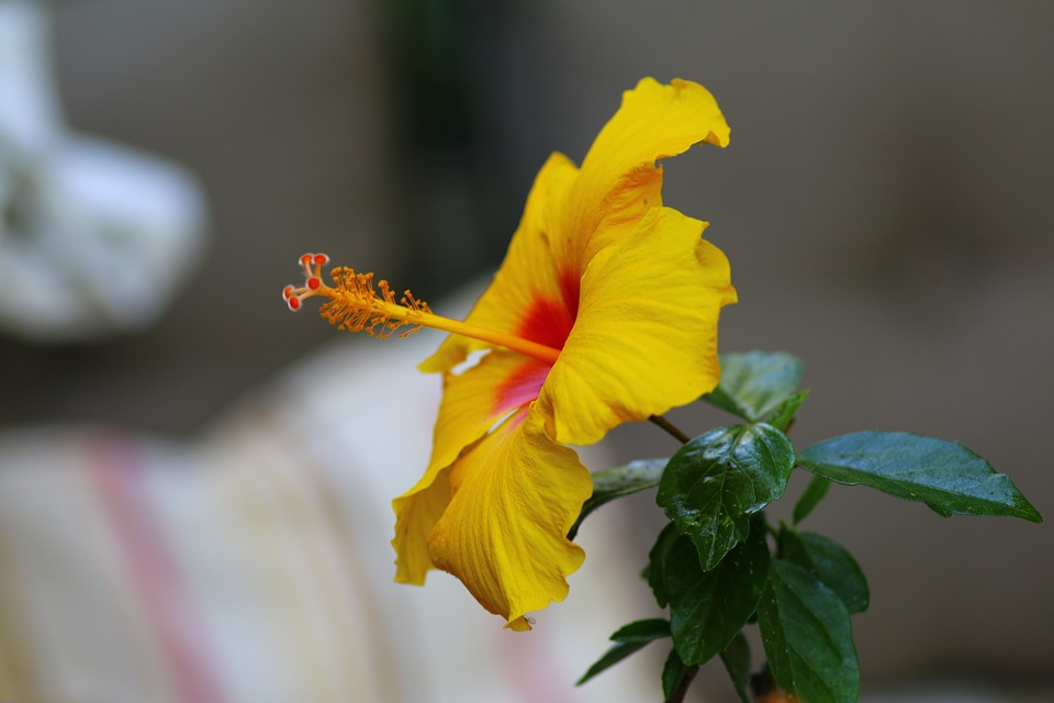 hibiscus, yellow, exotic flower