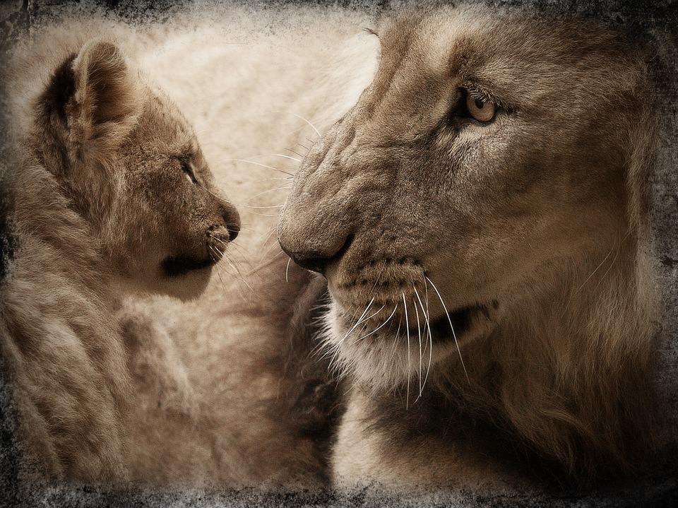 lion, lion cub, baby animal