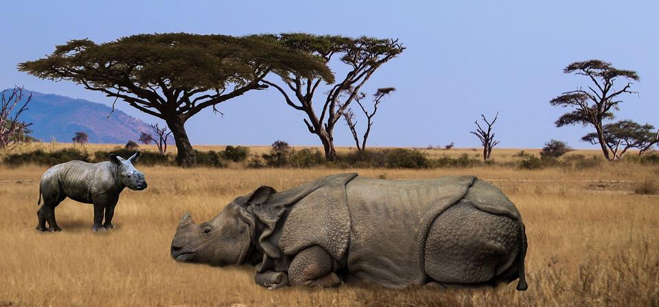 rhino, africa, safari