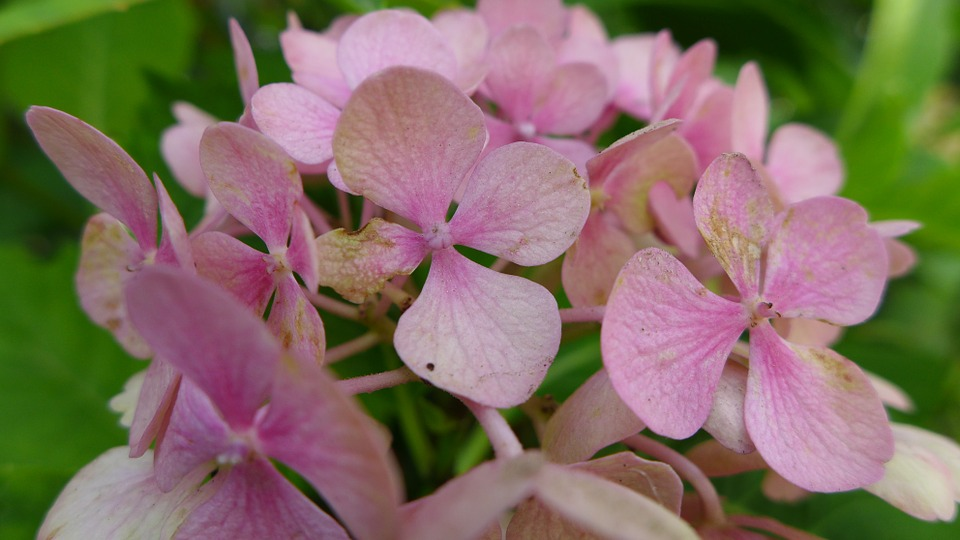 hydrangea, blossom, bloom