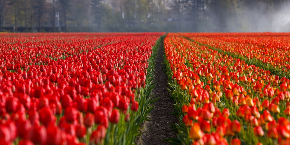 tulips, tulip, field