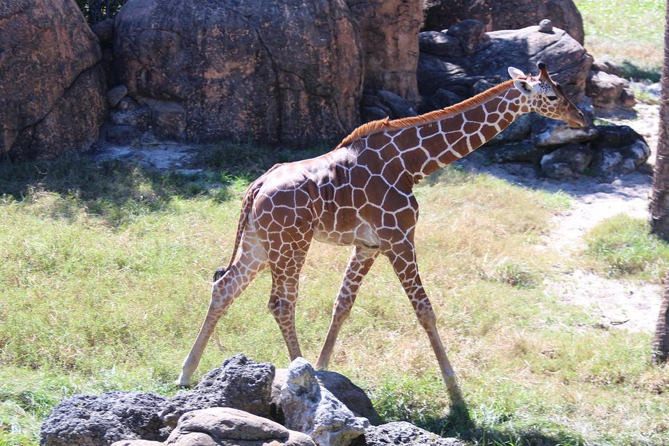 giraffes, baby animals, animals