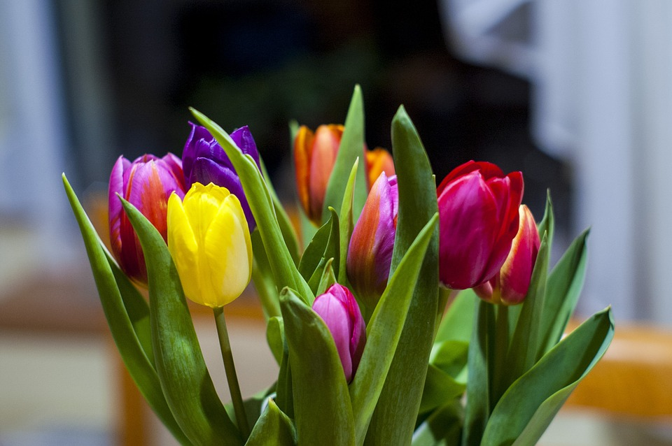 tulips, flowers, floral
