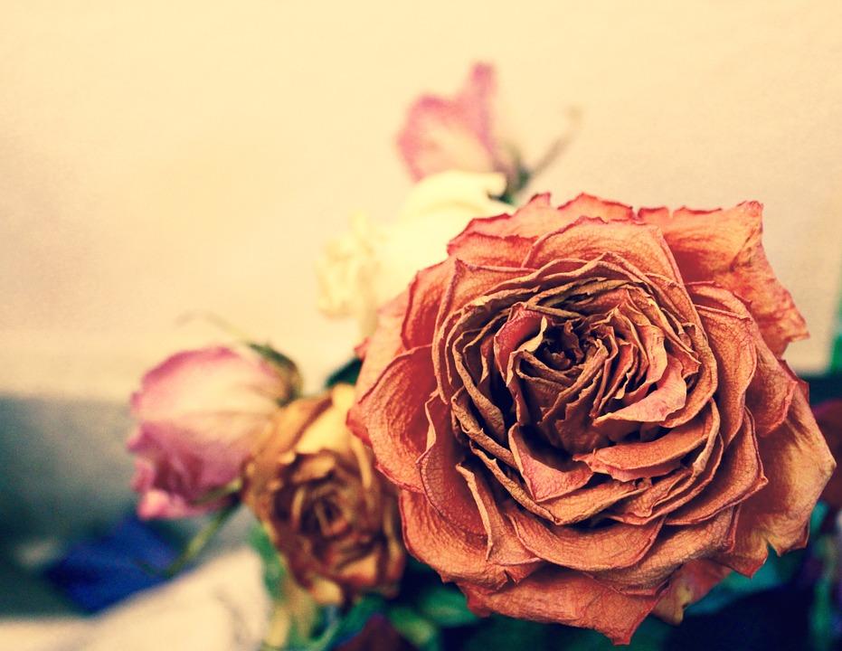 rose, dead, orange