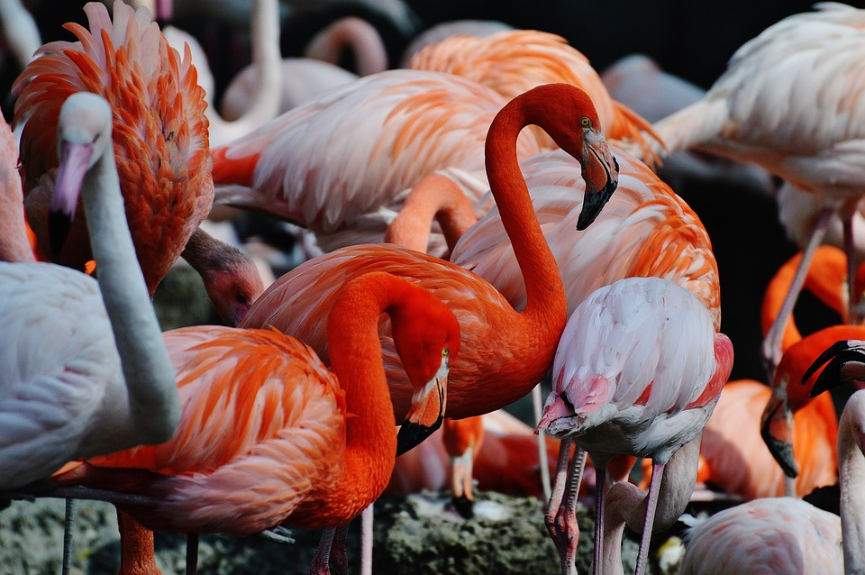 flamingos, birds, colorful